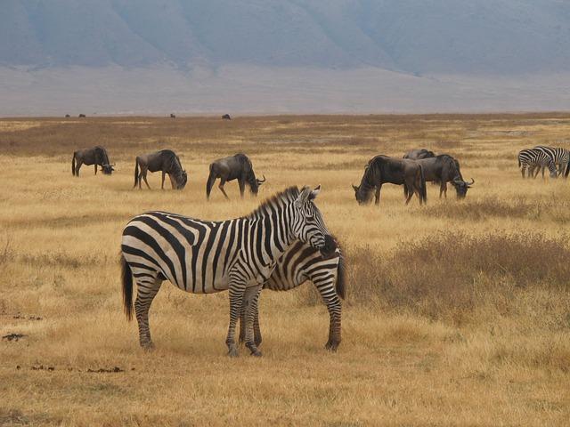zebry na safari