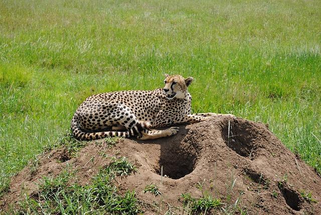gepard v Tanzanii